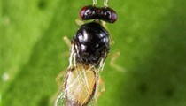 You can now order a vial of wasps to fight Florida's citrus greening problem