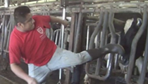 Publix suspends shipments from Florida dairy farm after video shows employees beating cows