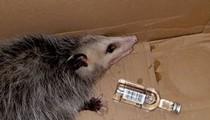 A Florida party opossum broke into a liquor store and got drunk