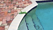 Frozen iguanas are falling out of trees in Florida right now