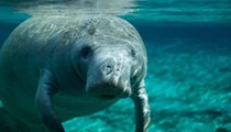 2017 was Florida's third highest year for boaters hitting manatees