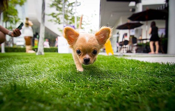 Nurse your Cinco hangover at Cocina 214's annual Running of the Chihuahuas