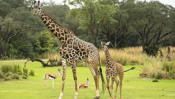New Baby Giraffe Makes Debut At Disney S Animal Kingdom