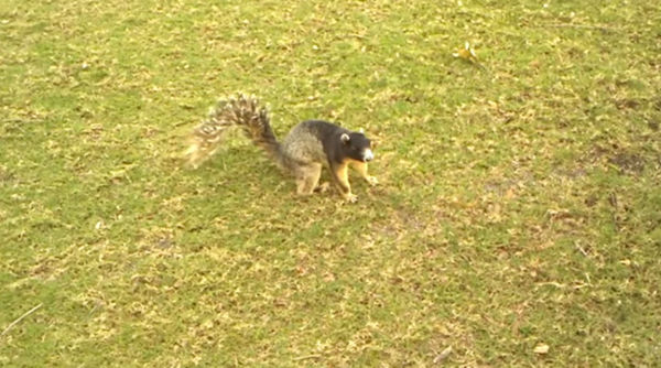 arguably the largest squirrel in orlando was caught on camera last