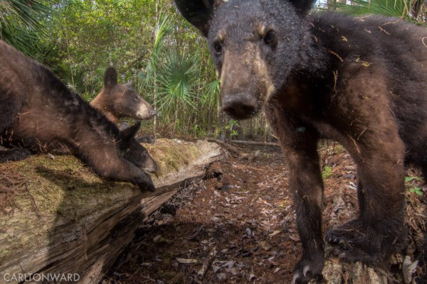florida black bears snap selfies on national geographic