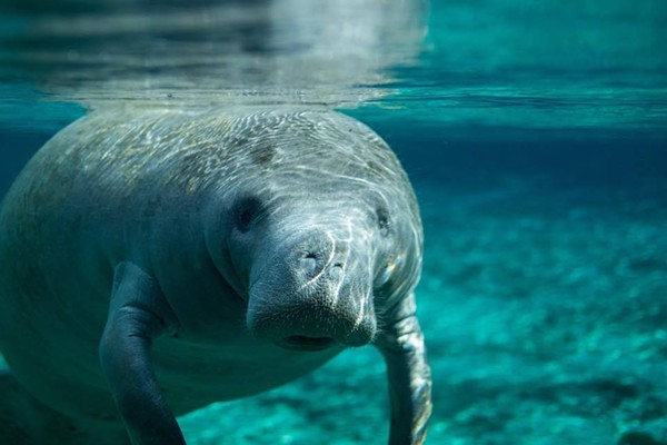 manatee population has dwindled due to excessive hunting 25 species that have made due to its oil-rich the passage of tighter boating regulations has helped the sunshine state rejuvenate its manatee population.