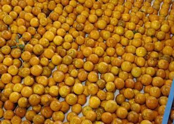 Florida citrus farmers end season on gloomy note