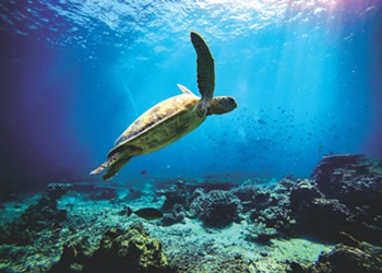 As Melbourne Beach's nesting green sea turtle population skyrockets, UCF researchers are trying to better understand why