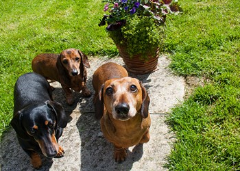 A Florida animal refuge is trying to find homes for 47 wiener dogs