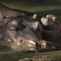 A baby hippo was born at Disney's Animal Kingdom last night
