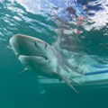 Video shows thousands of blacktip sharks migrating off coast of Florida