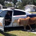 Escaped miniature pony apprehended by Florida police