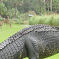Herd of deer allow massive gator to play through at Florida golf course