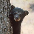 Central Florida cities, counties look to prevent bear-human conflicts