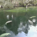There are nearly 500 manatees at Blue Spring State Park right now