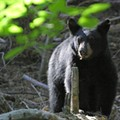 Florida Fish and Wildlife Conservation Commission closes bear hunt after 48 hours
