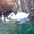 Commissioner Sheehan wants Lake Eola swan thief prosecuted to 'fullest extent of the law'