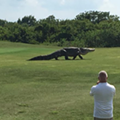 A monster gator strolled through a Florida golf course last weekend