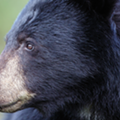 "Despite mounting public opposition to Florida's bear hunt, the FWC may approve another ""harvest"" next week"