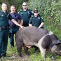 If you own this 600-pound hog, you might want to call the authorities