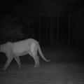 A female panther taken by an automatic camera north of the Caloosahatchee River in Florida.