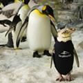 Wetsuit-wearing SeaWorld penguin finally grows her own coat