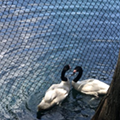 One of two male black-necked swans at Lake Eola dies, ending Orlando's 'swan-elorette' story