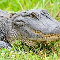 Florida golfer uses putter to fight off alligator attack
