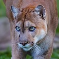 National Geographic's Carlton Ward Jr. gives an update on the Florida panther at Rollins College