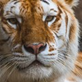 A Bengal tiger at Busch Gardens Tampa Bay died after an 'atypical interaction' with her brother