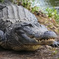 Gatorland's Larry the Alligator competing to be the face of Frontier Airlines