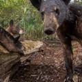 Florida black bears snap selfies on National Geographic photographer's camera