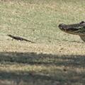 Florida woman films 16 baby gators parading through her backyard
