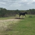 Wild horse fights gator in Florida state park