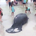 Florida beachgoers help rescue stranded manatees