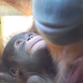 Critically endangered orangutan born at Busch Gardens Tampa