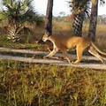 This Florida panther does not care for the actions of men