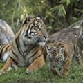 Disney's critically endangered Sumatran tiger cubs are finally here