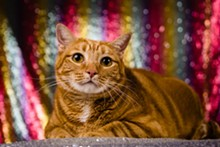 PHOTO VIA ORANGE COUNTY ANIMAL SERVICES - Orangie (A467670)