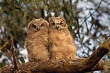 Great-horned owlets - Uploaded by AudubonCBOP