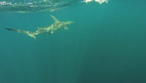 Florida man hitches a ride with an 11-foot shark