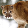 Oh, Villagers! A cougar and her prey arrested for public fornication