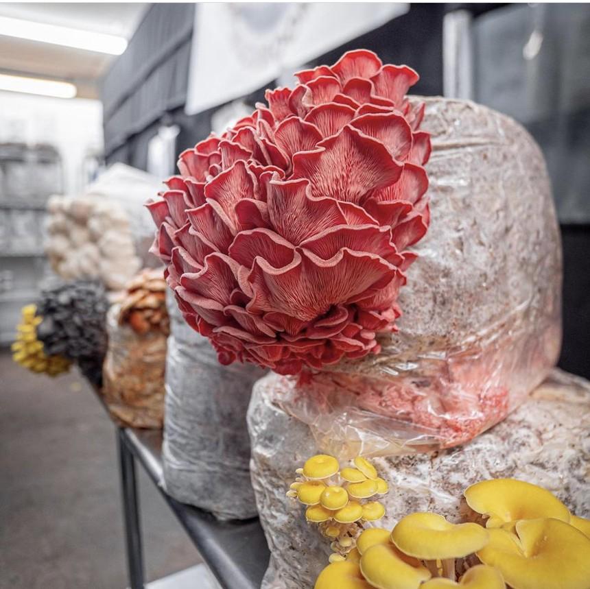 Pink oyster mushrooms. - SOUTHWEST MUSHROOMS