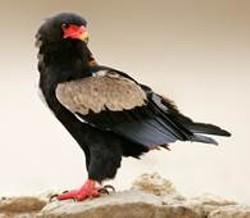 A Bateleur eagle - IMAGE COURTESY OF THE NATIONAL AVIARY