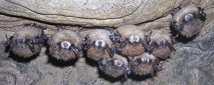 A cluster of bats exhibiting an unexplained (and possibly deadly) white fungus on their noses. - COURTESY OF NEW YORK DEPARTMENT OF ENVIRONMENTAL CONSERVATION