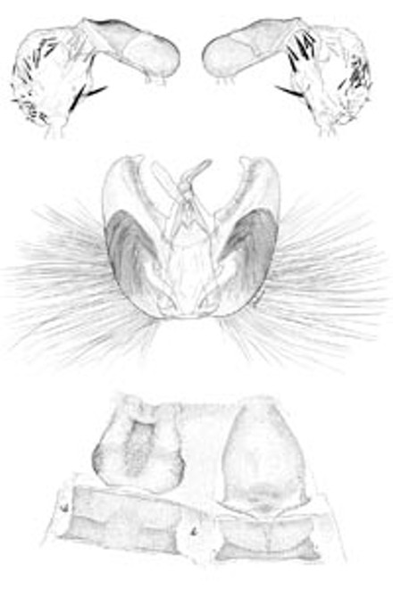 De-bugged: Jane Hyland's pen-and-ink rendering of the male genitalia of Caribojosia youngi, a newly discovered species of Caribbean moth.