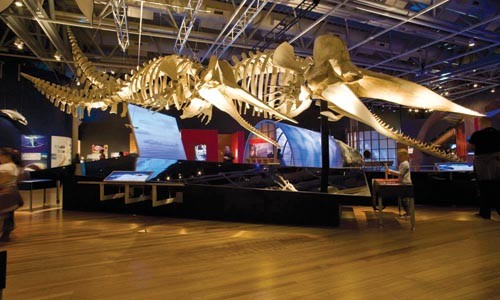 Fin du monde: Two sperm-whale skeletons dominate Whales: Tohora. (These specimens, though photographed at another museum, are identical to the version at the Carnegie.)