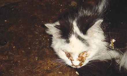 From undercover video taken prior to the March 2008 raid which showed cats with obvious signs of illness.