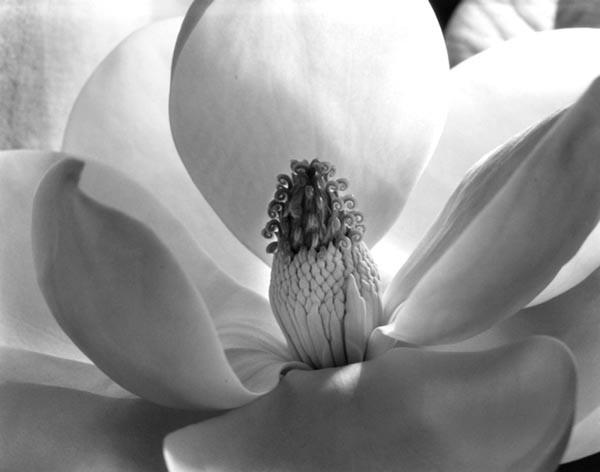 "Imogen Cunningham's ""Magnolia Blossom"" (1925)"
