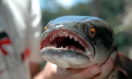 National Geographic's Fishzilla
